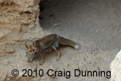 desert-fox-qumran2010