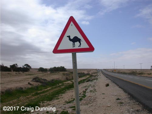 Caution: Camels may be near or on the road! Photo: ©2017 Craig Dunning